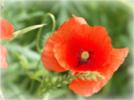 photo d'une fleur de coquelicot